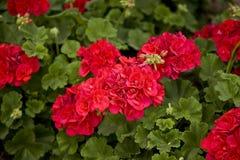 Geraniums Nuttig voor Achtergrond stock fotografie
