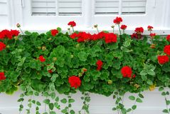 Free Geraniums On Window Royalty Free Stock Image - 957166