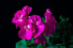 Geraniums op een zwarte achtergrond Stock Foto