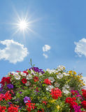 Geraniums, petunias and bidens, against blue sky with bright sun Royalty Free Stock Images