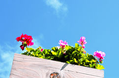 Geraniums in a pot Royalty Free Stock Image