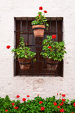 Geraniums in pots Royalty Free Stock Photo