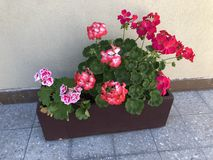 Geraniums in a rectangular pot stock photos
