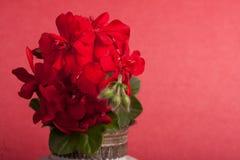 Geraniums Royalty Free Stock Image