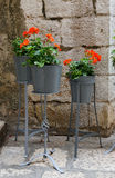 Geraniums. Red Geraniums in a big metal flower pot Royalty Free Stock Images