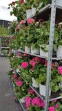 Geraniums for sale Royalty Free Stock Photography