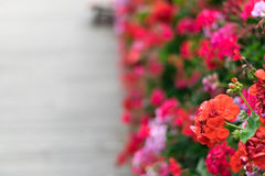 Geraniums in the street. royalty free stock photo