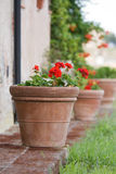 Geraniums in a terracotta pot Stock Image