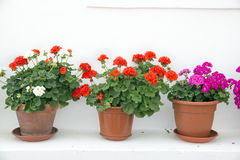 Geraniums Stock Photos