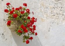 Geraniums. Are a typical Andalusian patio stock photography