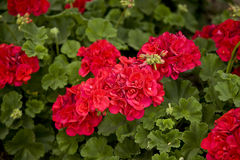 Geraniums Useful for Background Stock Photography