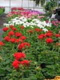 Geraniums voor Verkoop Stock Afbeelding