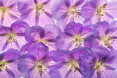 Geraniums royalty free stock images
