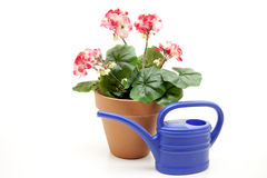Geraniums with watering can. Geraniums in the flowerpot with watering can stock photography