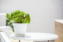 Geraniums in white pots on table in cozy hotel in Stock Image