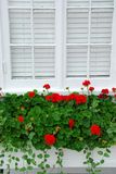 Geraniums on window Stock Images