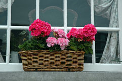 Geraniums in the window Stock Photo