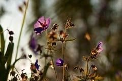 Geraniumweide Royalty-vrije Stock Foto