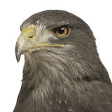 geranoaetus орла черного buzzard chested melan стоковые фото