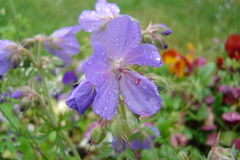 Geranuim. A blue geranium with drops of water stock photography