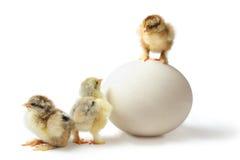 Gerarchia del pollo Fotografia Stock Libera da Diritti