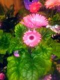 Gerbara Daisy Plant lizenzfreie stockfotos