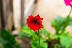 Gerberลbloem in de tuin royalty-vrije stock foto