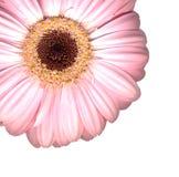 gerber粉红色 免版税库存照片