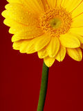 gerber żółty Zdjęcia Royalty Free