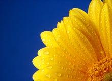 gerber κίτρινος Στοκ φωτογραφία με δικαίωμα ελεύθερης χρήσης
