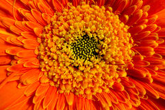 gerber πορτοκάλι Στοκ εικόνες με δικαίωμα ελεύθερης χρήσης
