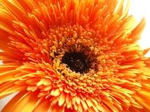 gerber πορτοκάλι Στοκ Φωτογραφία
