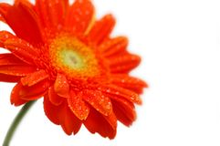 gerber πορτοκάλι Στοκ Εικόνα
