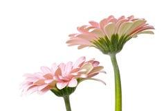 gerber ροζ Στοκ φωτογραφία με δικαίωμα ελεύθερης χρήσης