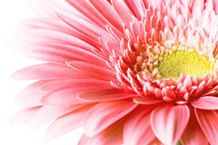 gerber ροζ Στοκ Εικόνες