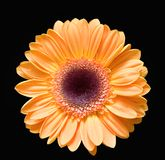 Gerber amarelo Fotografia de Stock Royalty Free