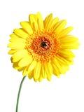 Gerber amarelo Foto de Stock Royalty Free