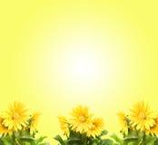 Gerber amarelo Imagens de Stock Royalty Free