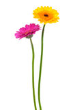 Gerber amarelo e cor-de-rosa imagem de stock