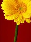 Gerber amarillo Fotos de archivo libres de regalías