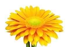 Gerber amarillo Fotografía de archivo libre de regalías