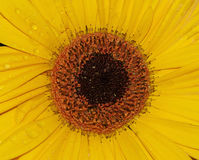 Gerber amarillo Imagen de archivo