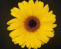 Gerber amarillo Imagen de archivo libre de regalías
