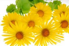 Gerber amarillo de la margarita imágenes de archivo libres de regalías