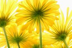 Gerber amarillo de la margarita Imagen de archivo