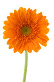 Gerber anaranjado foto de archivo libre de regalías