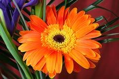 Gerber anaranjado Fotografía de archivo