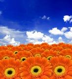 Gerber anaranjado Imagen de archivo
