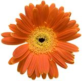 Gerber anaranjado Imagen de archivo libre de regalías