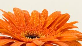 Gerber anaranjado brillante hermoso en macro Imágenes de archivo libres de regalías
